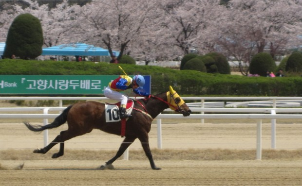 Cheery blossoms are out at Seoul Racecourse