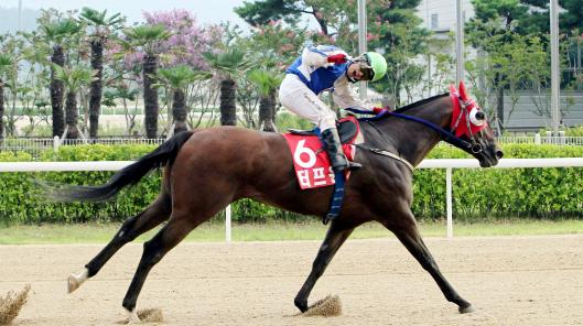 Tough Win, seen here winning the Busan Metropolitan Stakes last month, heads the Korean challenge on Sunday (Pic: KRA)