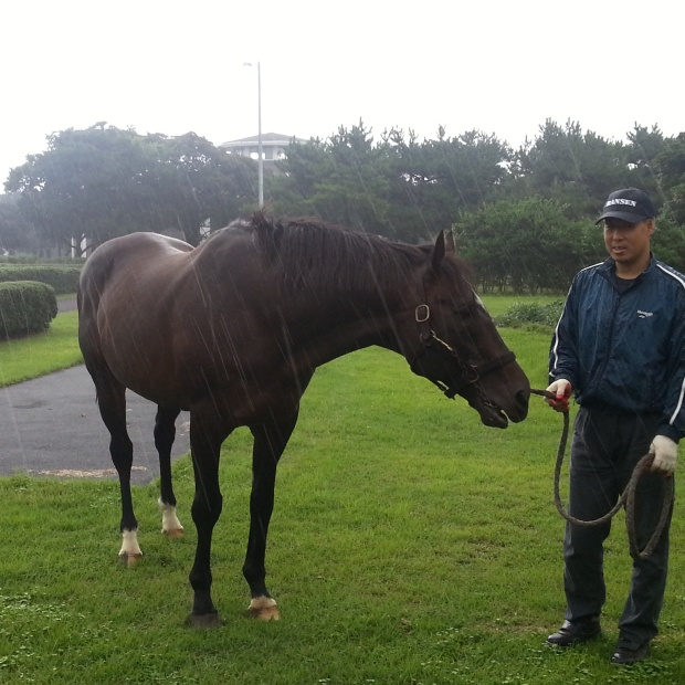 Menifee, Korea's leading sire, walks in the rain